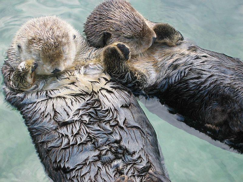 Otter houden elkaars hand vast